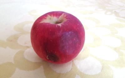 Où il est question de chute d'une pomme… la mienne !
